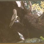 『悠久に生きる洞杉』        山田 洋子